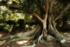 Morteon bay fig 2 (2)